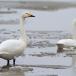 kleine-zwaan-tundra-swan-67