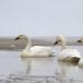 kleine-zwaan-tundra-swan-68