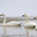 kleine-zwaan-tundra-swan-69
