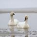 kleine-zwaan-tundra-swan-70