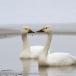 kleine-zwaan-tundra-swan-72