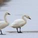 kleine-zwaan-tundra-swan-77