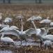kleine-zwaan-tundra-swan-82