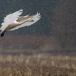 kleine-zwaan-tundra-swan-84