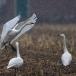 kleine-zwaan-tundra-swan-87