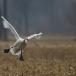 kleine-zwaan-tundra-swan-95