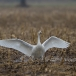 kleine-zwaan-tundra-swan-96