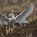 kleine-zwaan-tundra-swan-97