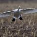 kleine-zwaan-tundra-swan-98