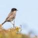 Kleine-zwartkop-Sardinian-Warbler-16