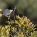 Kleine-zwartkop-Sardinian-Warbler-19