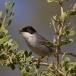 kleine-zwartkop-sardinian-warbler-02