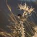 kleine-zwartkop-sardinian-warbler-07