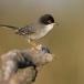 kleine-zwartkop-sardinian-warbler-09