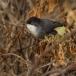 kleine-zwartkop-sardinian-warbler-10