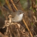 kleine-zwartkop-sardinian-warbler-12