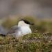 kleinste-jager-long-tailed-skua-02