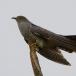 koekoek-common-cuckoo-01