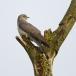 koekoek-common-cuckoo-02