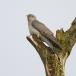 koekoek-common-cuckoo-03