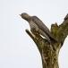 koekoek-common-cuckoo-04