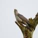 koekoek-common-cuckoo-05