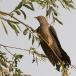 koekoek-common-cuckoo-07