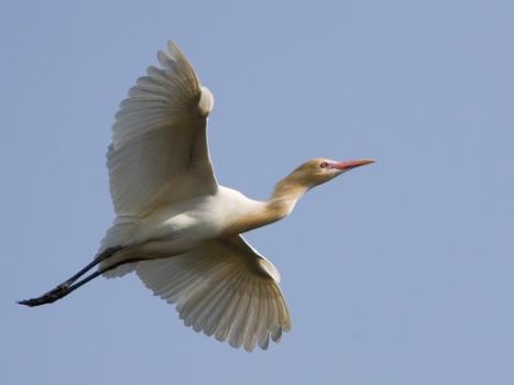 koereiger-cattle-egret-07