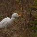 koereiger-cattle-egret-01_0