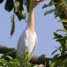 koereiger-cattle-egret-02