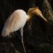 koereiger-cattle-egret-03