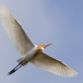 koereiger-cattle-egret-05