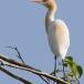 koereiger-cattle-egret-06