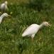 koereiger-cattle-egret-12