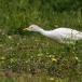 koereiger-cattle-egret-14
