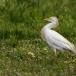 koereiger-cattle-egret-15