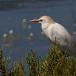koereiger-cattle-egret-19