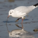 kokmeeuw-black-headed-gull-01