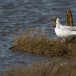 kokmeeuw-black-headed-gull-04
