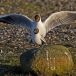 kokmeeuw-black-headed-gull-07