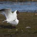 kokmeeuw-black-headed-gull-08