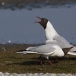 kokmeeuw-black-headed-gull-09