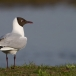 kokmeeuw-black-headed-gull-10