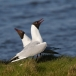 kokmeeuw-black-headed-gull-11