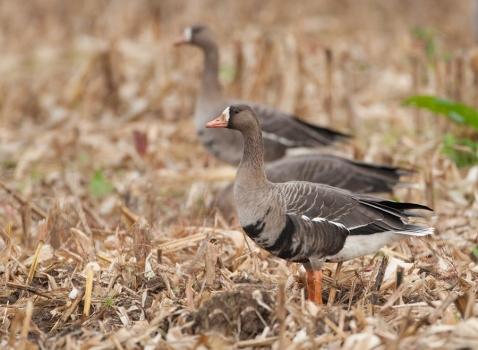 kolgans-greater-white-fronted-goose-01