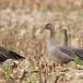 kolgans-greater-white-fronted-goose-02