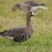 kolgans-greater-white-fronted-goose-03