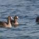 kolgans-greater-white-fronted-goose-04
