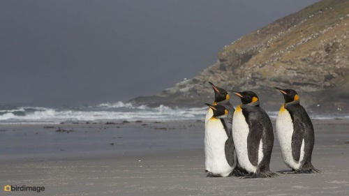 Koningspinguin_King penguin 11