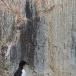 kortbekzeekoet-thick-billed-murre-16